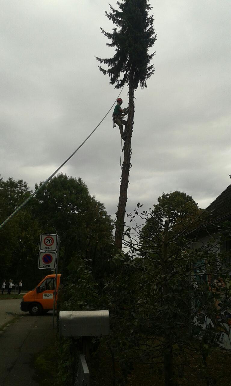 Bäume professionell fällen - durch Garten-Boss, Stuttgart Zazenhausen